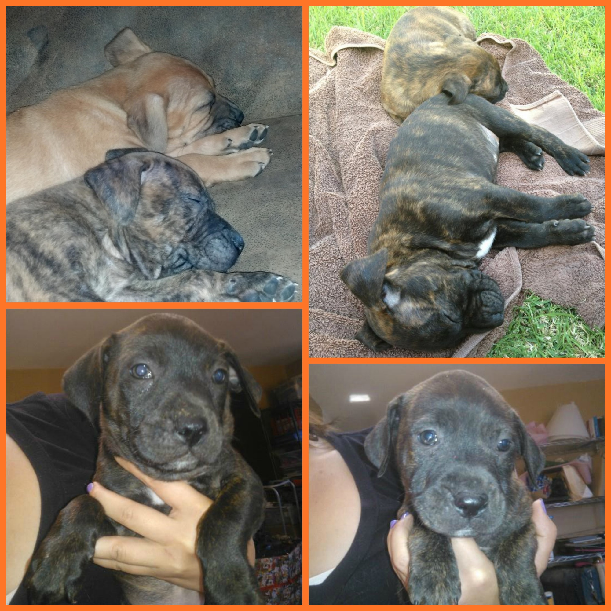 boxer shepherd mix puppies these boxer shepherd mix pups are 7 weeks